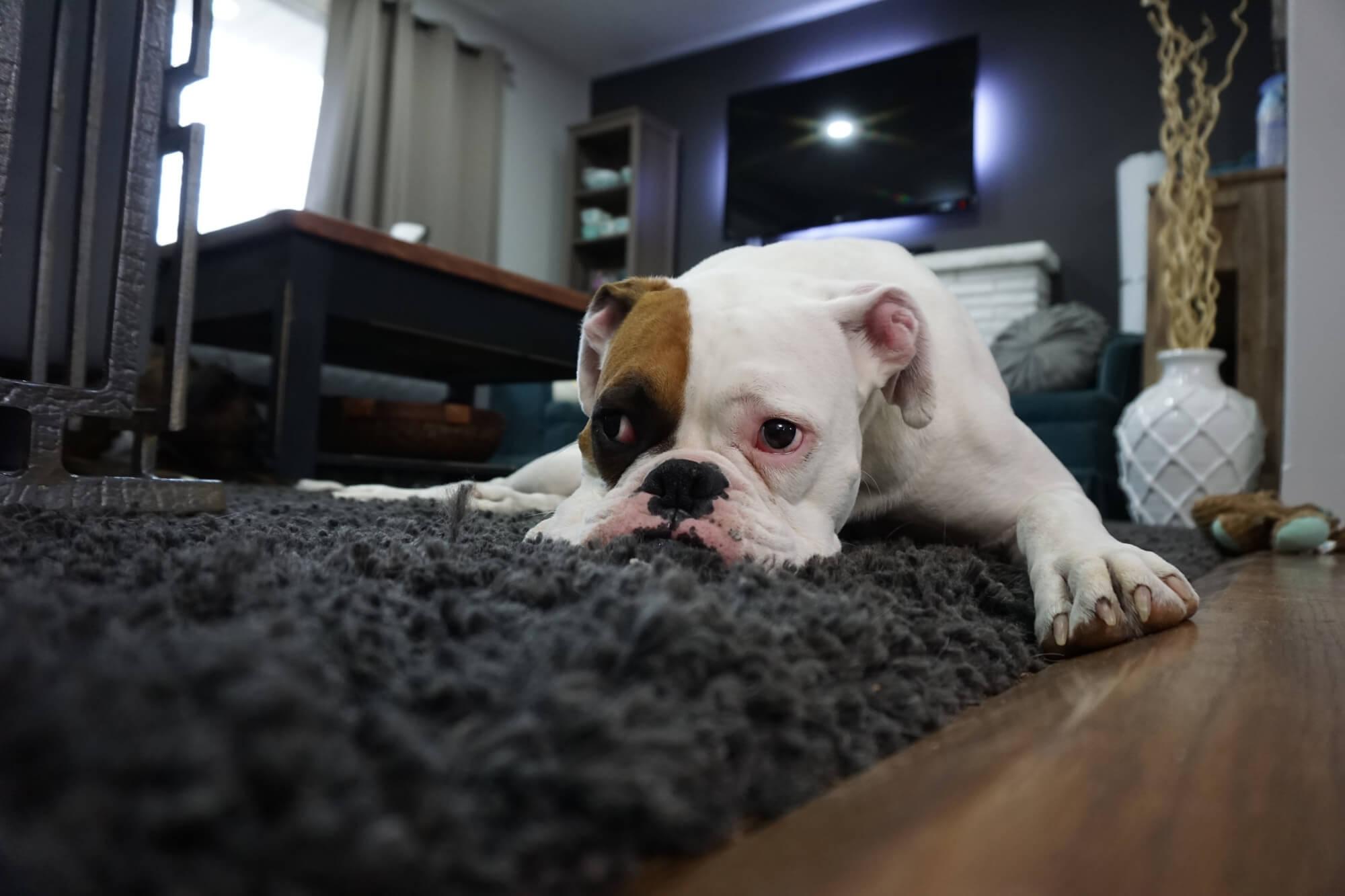 bulldog-on-carpet-small